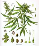 1200px-Cannabis_sativa_Koehler_drawing.jpg