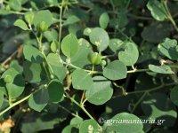 Capparis-spinosa-Κάπαρη-Κάππαρη-Κάπαρις-η-κοινή-3.jpg