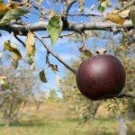 black-apples-today-inline-today-190401-001.jpg